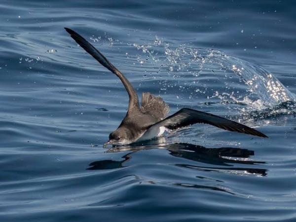 aves marinas ría de arousa