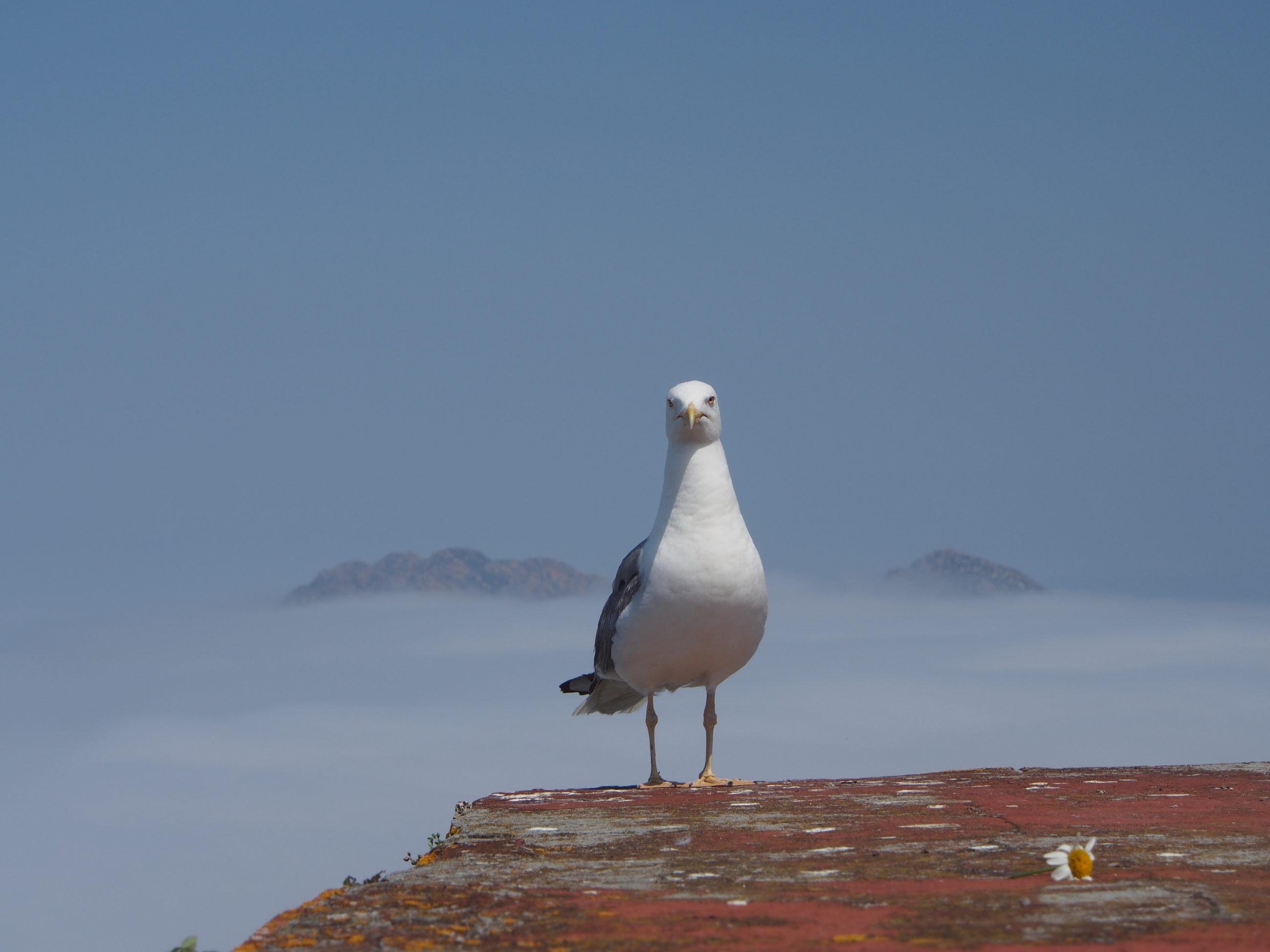 aves islas cíes