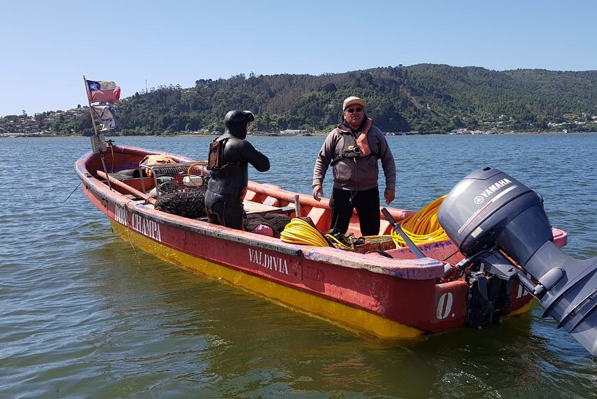 Extrayendo navajuela en río Valdivia